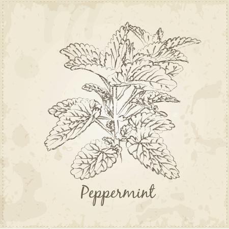Keuken handgetekende kruiden en specerijen .Beauty en natuur collectie. Etiketten voor essentiële oliën en natuurlijke supplementen. Pepermunt. Stockfoto - 42584285