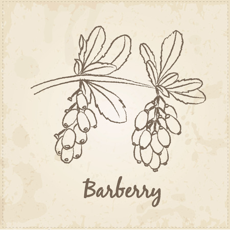 chive: Kitchen hand-drawn herbs and spices .Health and Nature Collection. Labels for Essential Oils and Natural Supplements. Barberry.
