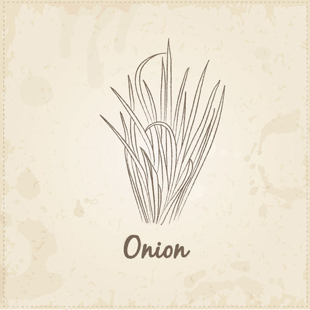 chive: Kitchen hand-drawn herbs and spices .Health and Nature Collection. Labels for Essential Oils and Natural Supplements. Onion. Illustration