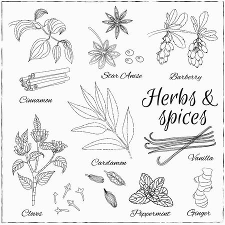 epices: Vector Hand Drawn réglé avec le dessert épices. Vintage illustration. Collection rétro à la vanille, la cannelle, l'épine-vinette, cardamome, vanille, girofle, menthe, anis étoilé et le gingembre.