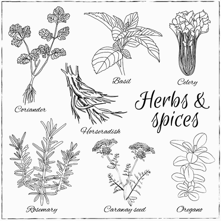 koriander: Vector hand drawn set with Herbs and Spices. Vintage illustration. Retro collection with coriander, basil, celery, horseradish, rosemary, caraway seed, oregano.