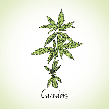 marijuana plant: Kitchen hand-drawn herbs and spices .Health and Nature Collection. Labels for Essential Oils and Natural Supplements. Cannabis herb. Illustration