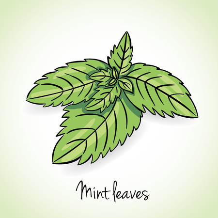 mint: Fresh mint leaves, vector illustration