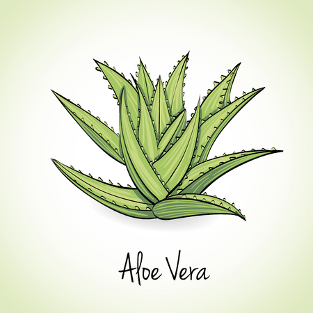 aloe vera plant: Kitchen hand-drawn herbs and spices .Health and Nature Collection. Labels for Essential Oils and Natural Supplements.