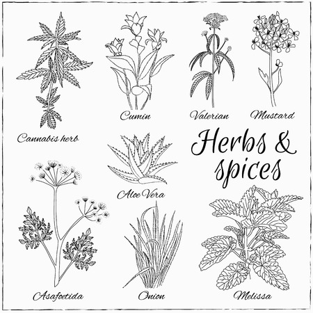 cannabis leaf: Vector hand drawn set with Herbs and Spices. Vintage illustration. Retro collection with cannabis herb, cumin, valerian, mustard, aloe vera, asafoetida, onion, melissa .