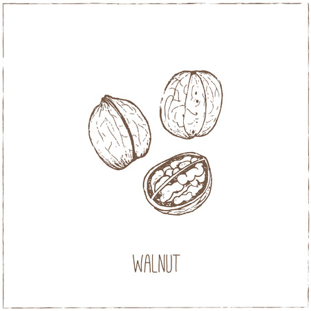 nutmeg: Nuts. Sketches. Hand-drawing. Vector illustration of for design menus, recipes and packages product. Vector Illustration.