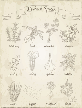 mustard seed: Herbs and Spices set.  Sketches. Hand-drawing. Vector illustration of for design menus, recipes and packages product. Vector Illustration.