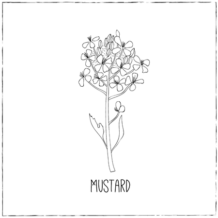 Mustard flower. Kitchen hand-drawn herbs and spices .Health and Nature Collection. Labels for Essential Oils and Natural Supplements.