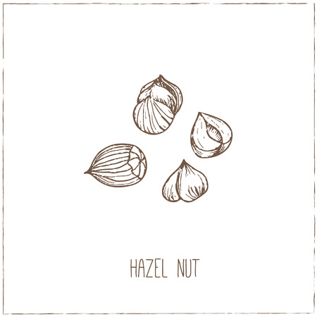brazil nut: Nuts. Sketches. Hand-drawing. Vector illustration of for design menus, recipes and packages product. Vector Illustration.