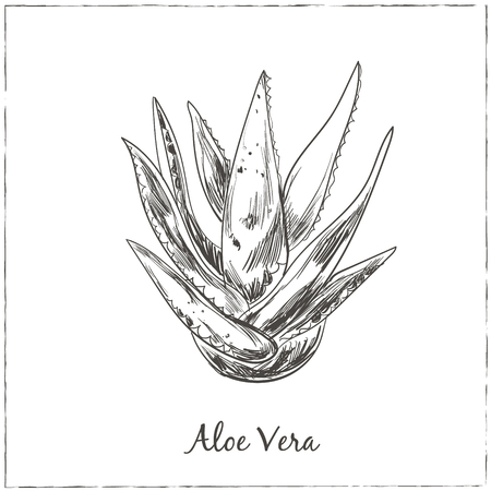 vera: Aloe vera hand drawn. Isolated Vector illustration. Kitchen hand-drawn herbs and spices. Health and Nature Collection.
