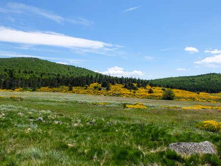 フランス モン ・ Lozere の開花ほうき、セヴェンヌ山脈と湿原します。 写真素材