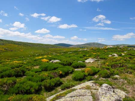 フランス モン ・ Lozere の開花ほうき、セヴェンヌ山脈にヒース
