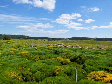 牛の放牧とモン ・ Lozere、フランス、セベンヌ山地の湿原