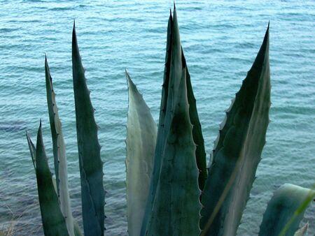agave: planta de verano Foto de archivo