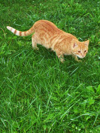 slink: sneaking cat     Stock Photo