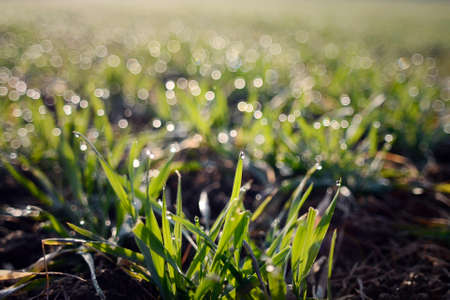 Green young barley grass in the morning with dew drops