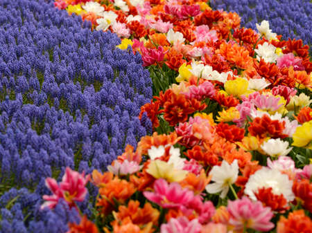 Detail of a flower bed from keukenhof Garden, Holland