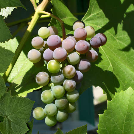 maturing: cluster of berries of grapes ripens on a branch. Stock Photo