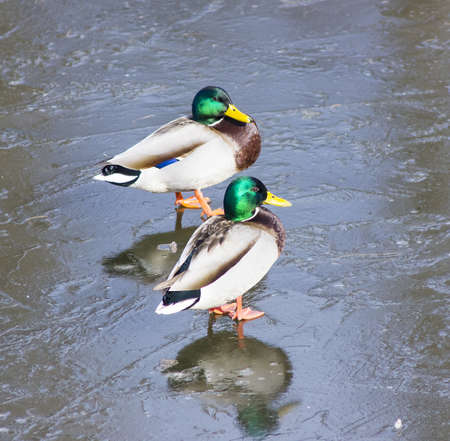 drakes: Wintering of wild ducks  Stock Photo