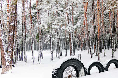 Landscape with winter pine wood  Фото со стока