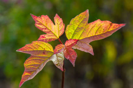 guelderrose: Guelder-rose leaves during the autumn period.