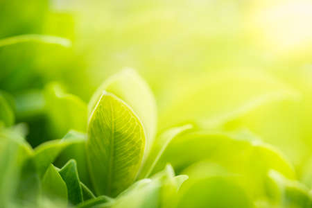 Closeup nature view of green leaf in garden at summer under sunlight. Natural greenery plants landscape using as a background or wallpaper. Stock Photo