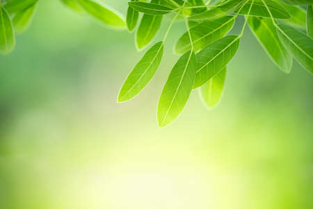 Nature of green leaf in garden using as background natural wallpaper