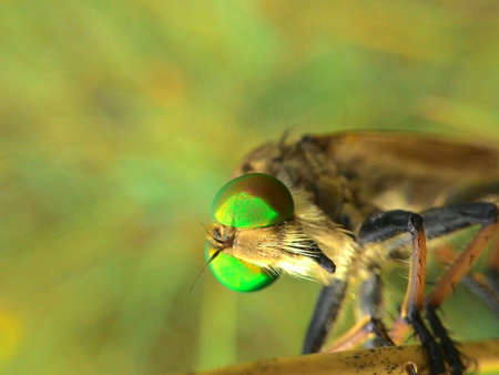 asilidae: robber fly waiting for prey with the keen eyes