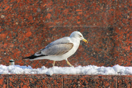 Seagull walking in the snow
