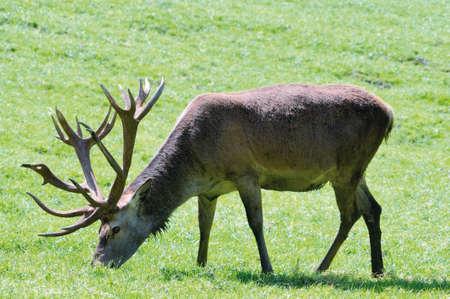 elaphus: Shot of adult deer walking in grass of mountain meadow