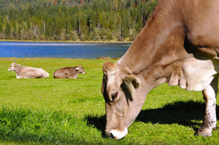 Cows grazing in front of the Pillersee in Tirol photo