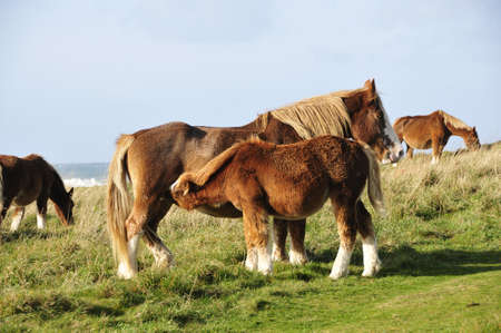 suckling: Horse suckling at the coast of Brittany