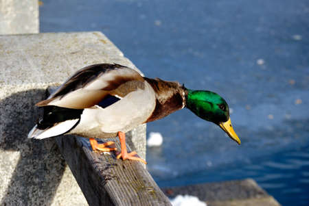 Duck sitting on wall watching the frozen lake in austria. Stock Photo - 8734228