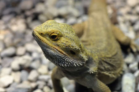 Barbed Agama - Pogona vitticeps, a little reptile living in australia.
