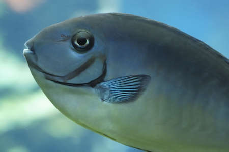 Bignose unicorn fish, also called Naso vlamingii. Stock Photo - 9593964