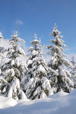 Trees snow covered in austrian winter landscape photo