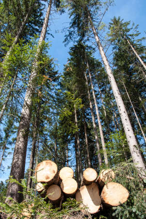 forestry industry: Wood pile in forest under blue sky Stock Photo