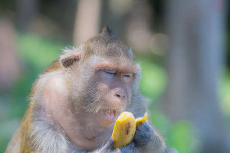 The monkey opens his mouth while eating a banana while his eyes are closed.