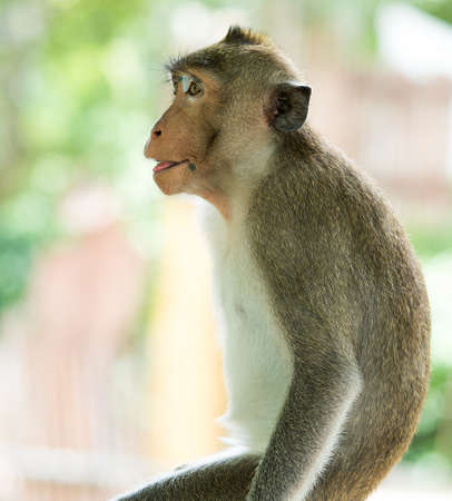 The brown monkey has a black mole on the lips is waiting for a friend Stock Photo