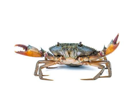 Scylla serrata. Caranguejo da lama isolado no fundo branco com espaço da cópia. Matérias-primas para o conceito de restaurantes de frutos do mar.