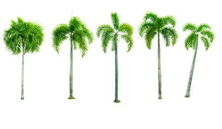 5 마닐라 팜, 크리스마스 팜 트리 (Veitchia merrillii (Becc.) 그는 무어) 흰색 배경에 고립의 집합입니다. 장식용 건축물을 광고하는 데 사용합