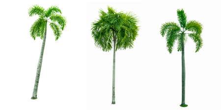 manila palm christmas palm tree veitchia merrillii isolated on white background used - Christmas Palm Tree Pictures
