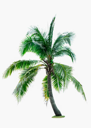 Coconut tree isolated on white background with copy space. Used for advertising decorative architecture. Summer and beach concept