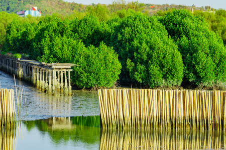 Wave protection fence made from dry bamboos at mangrove forest in the sea to avoid coast erosion