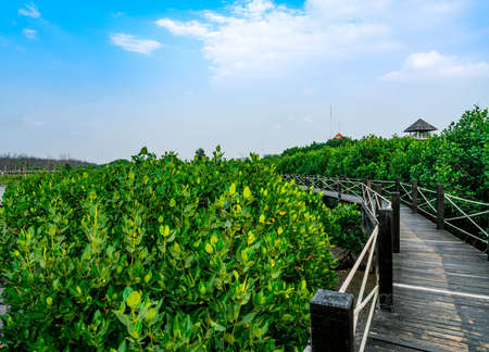 Nature trail in Mangrove forest. Mangrove forest is abundant. Beautiful blue sky and white clouds Stock Photo