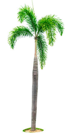 manila palm christmas palm tree veitchia merrillii isolated on white background with copy - Christmas Palm Tree Pictures