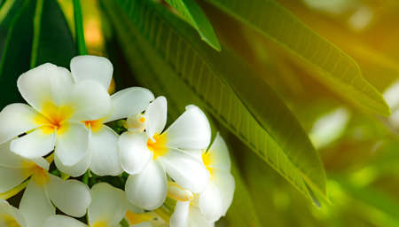 Frangipani flower (Plumeria alba) with green leaves on blurred background. White flowers with yellow at center. Health and spa background. Summer spa concept. Relax emotion. 版權商用圖片 - 106166136