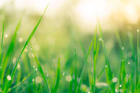 Unscharfes frisches grünes Grasfeld am frühen Morgen mit Morgentau. Wassertropfen auf der Spitze der Grasblätter im Garten. Grünes Gras mit Bokeh-Hintergrund im Frühjahr. Natur Hintergrund. Saubere Umwelt. Standard-Bild