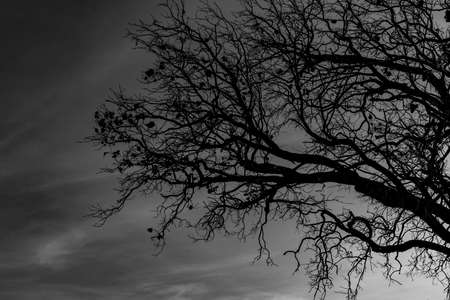 Silhouette dead tree on dark dramatic sky background for scary or death. Halloween night. Hopeless, despair,sad and lament concept. Scary forest. Dramatic horror night on Halloween day background. Stock Photo