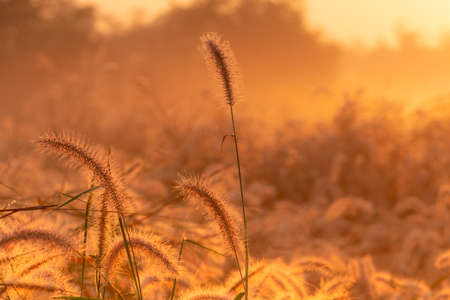 Grass flower in the morning at sunrise with beautiful golden sunshine. Flower field in rural. Orange meadow background. Wild meadow grass flowers with morning sunlight. Background for start new life. Stockfoto